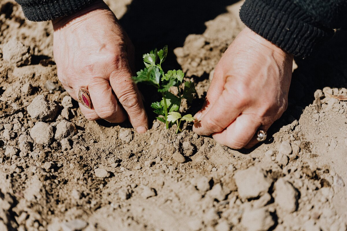 Hands of a white elderly person, with rings on each hand, planting a little green seedling into the earth.